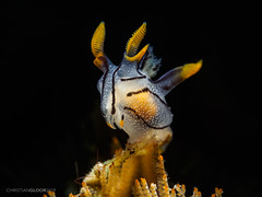 In the spotlight (Christian Gloor (mostly) underwater photographer) Tags: lembeh muck diving indonesia macro nudibranch thecacera picta sulawesi nauticam
