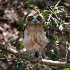 Juvenile Powerful Owl (- Jan van Dijk -) Tags: australia queensland juvenile powerfulowl owl bird uil vogel nature wildlife fauna ninoxstrenua tamron10004000mmf4563 nativefauna jvd squareformat hawkowl