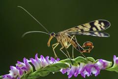 Mecoptera (Isaac Chiu_TW) Tags: insect natural bug macro taiwan tainan closeup