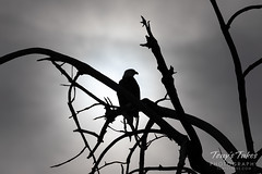 December 8, 2019 - Silhouetted bald eagle. (Tony's Takes)