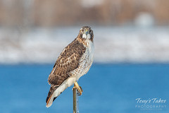 December 1, 2019 - A very attentive red-tailed hawk. (Tony's Takes)