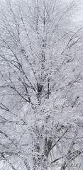 December 1, 2019 - Beautiful tree flocked in frost. (Diana Mauzy)