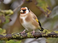 Goldfinch (doranstacey) Tags: nature wildlife birds goldfinch shillito woods woodland peakdistrict nikon d5300 tamron 150600mm