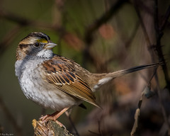 Showing his best side (Fred Roe) Tags: nikond7100 nikonafsnikkor200500mm156eed nature naturephotography national wildlife wildlifephotography animals birds birding birdwatching birdwatcher sparrow whitethroatedsparrow zonotrichiaalbicollis colors outside flickr feet peacevalleypark