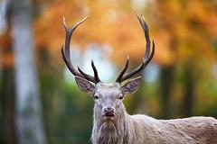 Weißer Rothirsch (DB-Naturfotografie) Tags: whitereddeer rothirsch weiserrothirsch herbst herbstlich fall autumn deer stag canon 5dsr wildpark geweih bokeh natur nature