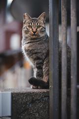 猫 (fumi*23) Tags: ilce7rm3 sony a7r3 animal alley street cosina voigtlander nokton 58mm voigtländernokton58mmf14slⅱ fmount feline cat chat gato katze neko bokeh depthoffield dof ねこ 猫 コシナ ソニー フォクトレンダー ノクトン 路地
