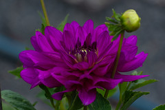 Dahlie  (30) (berndtolksdorf1) Tags: deutschland thüringen gartenblume blume flowers dahlie pflanze blüte lila outdoor