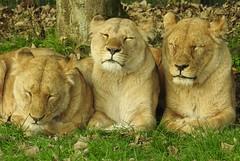 Three Sleepy Lion Friends (blue33hibiscus) Tags: animal bigcat lion longleat wiltshire