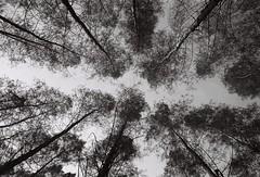 The way in forest (tor.2940) Tags: leicamp leicampfilm leicafilm lerts summilux35 summilux35preasph preasph kingofglow summilux35v2 kodak kodaktrix kodaktrix400 trix400 kodakfilm
