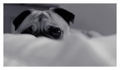 Lazy Pug (Jaycat1980) Tags: xt3 fujilove fujifilm fuji sleep hide bed duvet sleepy puppy days rain rainyday pug dog