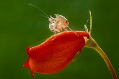 Mantis (Isaac Chiu_TW) Tags: insect natural bug macro taiwan tainan closeup mantis