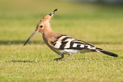 Hoopoe 502_2978.jpg (Mobile Lynn) Tags: hoopoe birds nature bird fauna wildlife yaiza canaryislands spain coth specanimal ngc coth5 npc