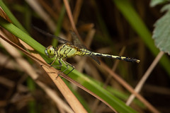 Dragonfly (Ron Winkler nature) Tags: dragonfly odonata insect insects arthropod indonesia bali asia wildlife nature canon 100mm macro 5div