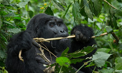 Mountain Gorilla (Markp33) Tags: