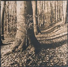 Colors of a forest. (Adam Fleks) Tags: lithprinting lithphotography lithprint lith orwo70 fomatonemg132 fomapapers forest nature winter naked trees environment mamiyatlr mamiyac330f mamiyasekor4565 ilfordhp5plus kodakhc110 analoguephotography analoguecamera analog analogue barytapaper barytaprint bokeh depthoffield