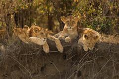 "So They Gather  3I4319 (Dr DAD (Daniel A D'Auria MD)) Tags: lions ""bigcats"" ""cats"" lion animal mammal leone wildlife ""wildlifeofafrica"" ""wildlifeoftanzania"" ""nature"" ""wildlifephotography"" ""bigfive"" ""serengeti"" ""tanzania"" ""africa"" ""children'swildlifebooksbydanielad'auriamd"" ""danielad'auriamd"" ""drdadbooks"" ""march2014"" 2013 kenya ""maasaimara"" ""masaimara"" ""mara"" ""november2019"""