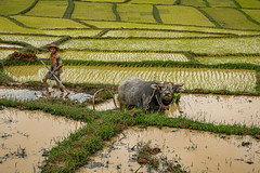 Myanmar 2019 (Massimiliano Dalcielo) Tags: myanmar birmania nikon nikonflickraward massimiliano dalcielo fromsky sigma travel trip viaggio vacanza journey asia globetrotter d7500 burma paddies risaia trekking mud muddy landscape paesaggio panorama pano