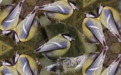 Mésange, effet multiple. (Crilion43) Tags: 1200d animaux canon centre cher matérielphoto objectif oiseaux région tamron véreaux mésange réflex