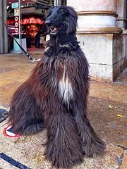 Afgan Hound (gerard eder) Tags: animals animales dog hund perro afgangreyhound afganischerwindhund street streetlife urban urbanlife urbanview natur nature naturaleza fauna