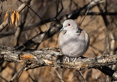 December 7, 2019 - A dove hanging out. (Jessica Fey)