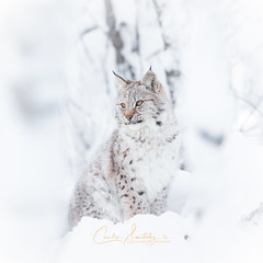 High Key Lynx Portrait (CecilieSonstebyPhotography) Tags: cub bokeh portrait eurasianlynx highkeyportrait winter endangered cat canon snow norway highkey gaupe langedrag january canon5dmarkiii lynxcub ef70200mmf28lisiiusm markiii catfamily lynx animal white