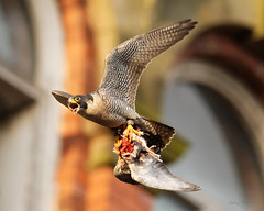 Pergrine with Prey (Tony_Fallon) Tags: pergrine prey flight bird raptor