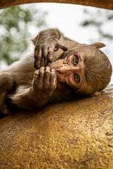 Myanmar 2019 (Massimiliano Dalcielo) Tags: myanmar birmania nikon nikonflickraward massimiliano dalcielo fromsky sigma travel trip viaggio vacanza journey asia globetrotter d7500 monkey scimmia life wild popa hill temple vulcano volcano burma