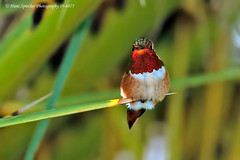 Allen's Hummingbird 19-8875 (Hans Spiecker Photography) Tags: allenshummingbird california mby