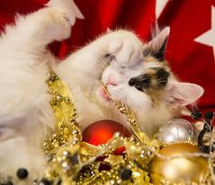 20171203_0804c (Fantasyfan.) Tags: turkish van kitten yule christmas kuunkissan fantasyfanin