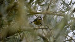 Blue tit in olive tree (PChamaeleoMH) Tags: birds fauna olivetree streathamcommon bluetits therookery trees
