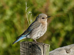 Mountain Bluebird female (annkelliott) Tags: alberta canada swofcalgary nature wildlife ornithology avian bird bluebird mountainbluebird sialiacurrucoides turdidae sialia female adult sideview perched fence fencepost field bokeh outdoor spring 11june2016 fz200 fz2003 annkelliott anneelliott ©anneelliott2016 ©allrightsreserved