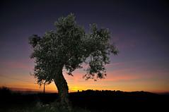 Olivo sabino al tramonto (luporosso) Tags: natura nature naturaleza naturalmente nikond300s nikonitalia albero tree tramonto sunset cielo sky