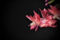 CLose-Up (2) (Phancurio) Tags: cactus flower closeup red