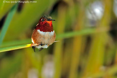 Allen's Hummingbird 19-8866 (Hans Spiecker Photography) Tags: allenshummingbird california mby