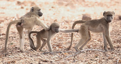 Push Me, Pull You (peterkelly) Tags: digital canon 6d africa intrepidtravel capetowntovicfalls botswana chobenationalpark savannababoon baboon ape young foot hand grabbing troop baby