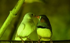 L'amour avec un grand A (cheyennemercier) Tags: animaux pairi daiza oiseau belgique zoo parc animalier amour mignon