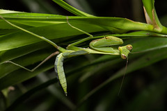 Mantis sp (Ron Winkler nature) Tags: dragonfly odonata insect insects arthropod indonesia bali asia wildlife nature canon 100mm macro 5div