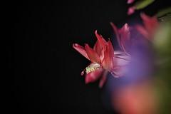 Close-Up (1) (Phancurio) Tags: flower cactus closeup red