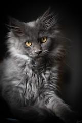Un peu de douceur. (LACPIXEL) Tags: douceur unpeu dulzura suavidad softness gentleness portrait retrato chaton gatito kitten pet mascota animal mainecoon sony flickr lacpixel penny pénélope lumièrenaturelle luznatural naturallight