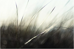 Winds of Change (Fr@ηk ) Tags: mrtungsten62 frnk europe grass bokeh shallow dof 1885mm canonef canon6d domburg zeeland thenetherlands holanda dream art seethebeachonthebackgroundleftside white plant nature field tree mist texture blur hair abstract black vegetation color lawn blackandwhite bird insubstantial grassfamily reed closeup agropyron desktop tower line green landscape photography light stockphotography standing fog motion macrophotography sun monochromephotography sphere summer monochrome anthus rain wind grain bright phragmites droplet storm plantstem bud nudity adult beach homburg sand salt northsea