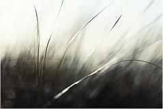 Winds of Change (Fr@ηk ) Tags: mrtungsten62 frnk europe grass bokeh shallow dof 1885mm canonef canon6d domburg zeeland thenetherlands holanda dream art seethebeachonthebackgroundleftside white plant nature field tree mist texture blur hair abstract black vegetation color lawn blackandwhite bird insubstantial grassfamily reed closeup agropyron desktop tower line green landscape photography light stockphotography standing fog motion macrophotography sun monochromephotography sphere summer monochrome anthus rain wind grain bright phragmites droplet storm plantstem bud nudity adult fkk beach homburg sand salt northsea