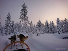 """Lapland Archive..."" ✨ (miss.natjo) Tags: earth nature chiendetraineau musher neige snow sapins foret forest polarcircle articcircle lapland finnishlapland laponiefinlandaise finland photography sony mobilephotography exploringworld neverstopexploring wonderfulworld winterwonderland"