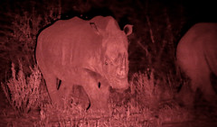 White Rhinoceros At Night (peterkelly) Tags: digital canon 6d africa intrepidtravel capetowntovicfalls namibia etoshanationalpark squarelippedrhinoceros whiterhinoceros night waterhole wateringhole