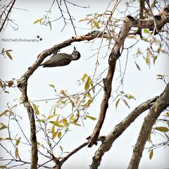 Cardinal woodpecker (Kardinaalspeg) female (MiChaH) Tags: sa southafrica zuidafrika kruger krugernationalpark wildlife wildlifephotography bird vogel cardinalwoodpecker kardinaalspeg dendropicosfuscescens 2019