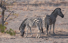 Plains Zebra Pair (peterkelly) Tags: digital canon 6d africa intrepidtravel capetowntovicfalls namibia etoshanationalpark plainszebra zebra eating grazing tree