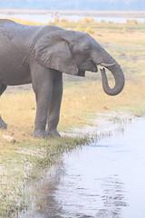 Chobe River Elephant (peterkelly) Tags: digital canon 6d africa intrepidtravel capetowntovicfalls botswana chobenationalpark choberiver elephant savannaelephant water trunk drinking savannahelephant