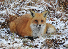 Red Fox Resting in the Snow (annette.allor) Tags: redfox vulpes fox snow freezing temperature nature woods