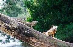 Grüner Leguan (perunasose) Tags: costarica grünerleguan leguan tier natur canonegro
