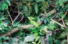 Basilisk (perunasose) Tags: costarica basilisk tier natur canonegro