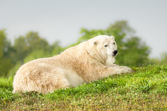 Polar Bear (bakosmike) Tags: polarbear bear toronto zoo nikon wildlife lazy portrait d7200 sigma 150600mm
